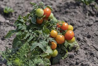 Поспели помидоры Черри