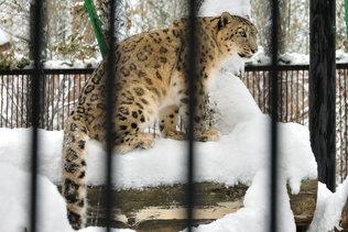 Леопард в Новосибирском зоопарке