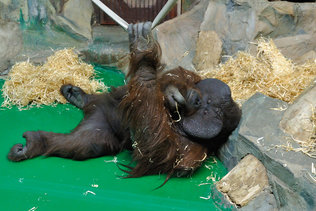 Орангутан скучает