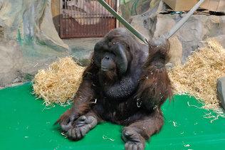 Орангутан проснулся