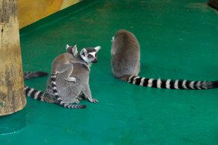 Лемуры Катта в Новосибирском зоопарке