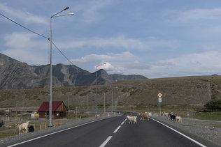 Домашние животные на Чуйском тракте