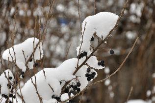 Ягода под снегом