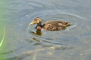 Утёнок в пруду