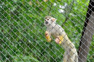 Карликовая обезьянка в неволе