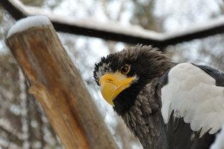 Хищная птица в зимнем зоопарке