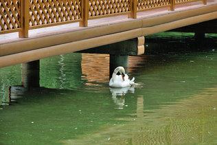 Лебедь белая