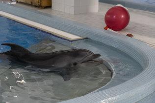 Дельфин Сева в Новосибирском дельфинарии