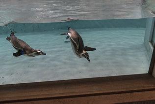 Любопытные пингвины в новосибирском зоопарке
