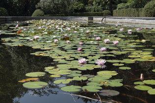 Кувшинки в Никитском ботаническом саду в Ялте