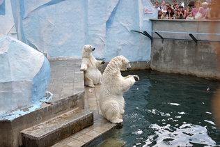 Выступление белых медведей