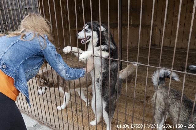 Дружелюбные собаки хаски