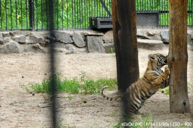 Тигренок в новосибирском зоопарке