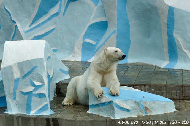 Белый медведь в новосибирском зоопарке