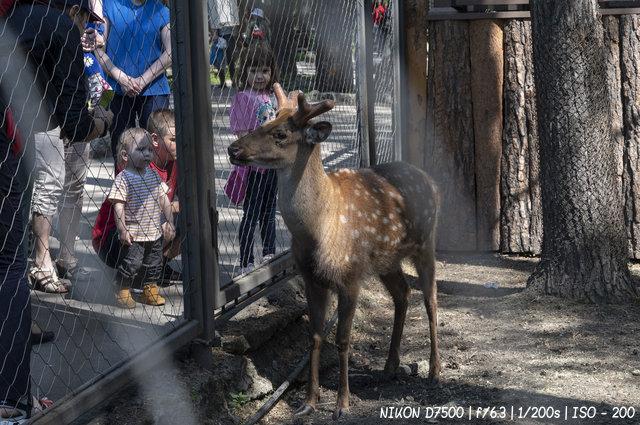 Пятнистые олени в новосибирском зоопарке