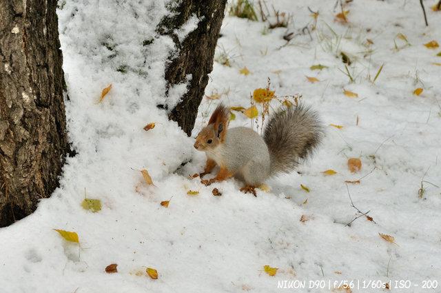 Белка зимняя