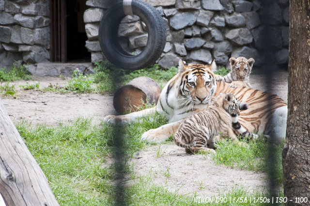 Тигрица с котятами