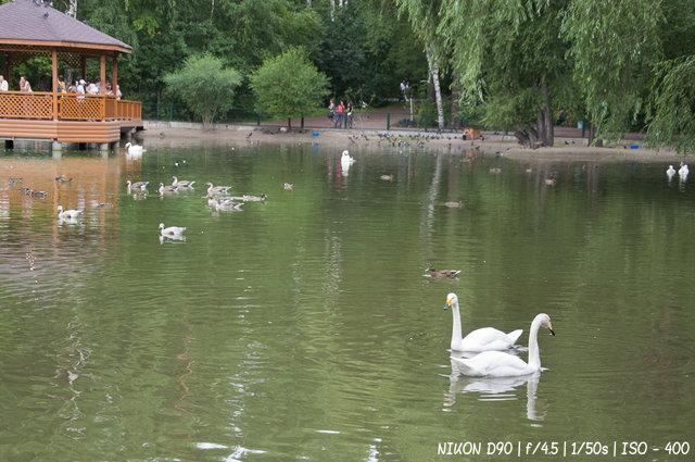 Белые лебеди в Новосибирском зоопарке
