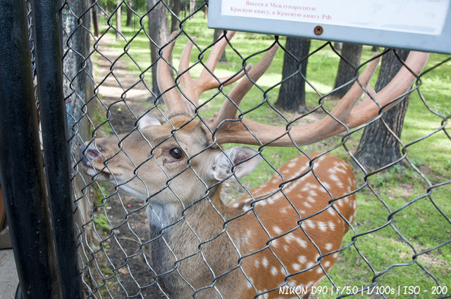 Краснокнижные олени в новосибирском зоопарке