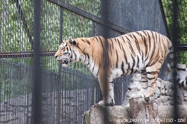 Тигры в Новосибирском зоопарке